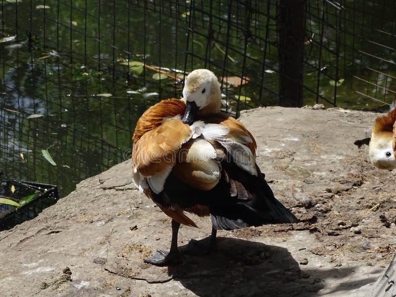 L'anatra nello zoo pulisce le piume immagini stock