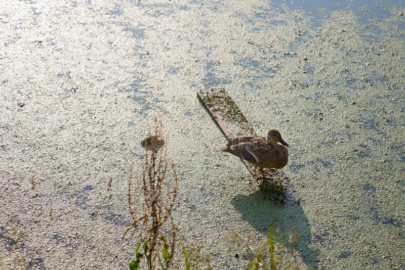 L'anatra sola sta sul bordo, prendente il sole al sole, contro lo stagno verde fotografia stock libera da diritti