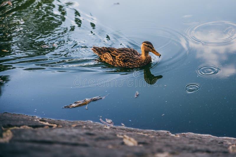 L'anatra sveglia che galleggia in uno stagno come il sole si accinge all'insieme fotografia stock libera da diritti