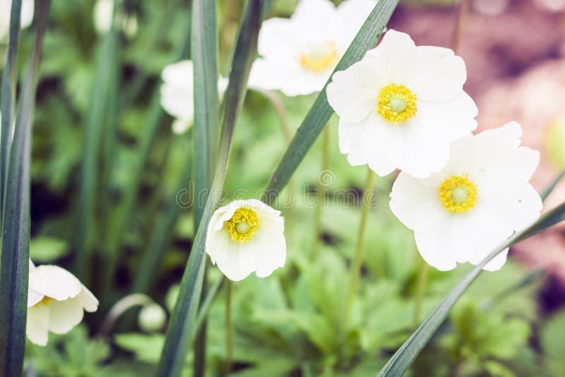 L'anemone del fiore bianco in fiore con le foglie verdi struttura il fondo, piante in un giardino fotografia stock libera da diritti