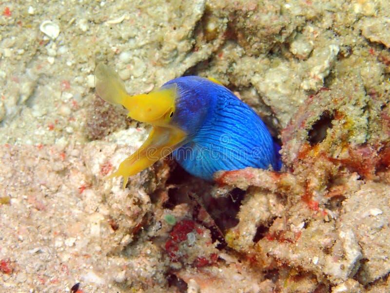 L'anguille de ruban bleu pendant un piqué de loisirs en île de Mabul, Semporna Tawau, Sabah La Malaisie, Born?o photos stock