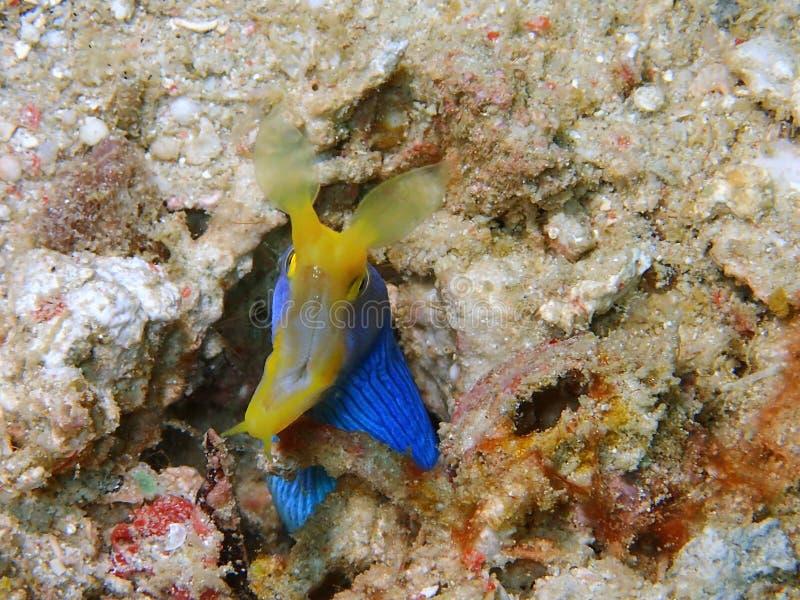 L'anguille de ruban bleu pendant un piqué de loisirs en île de Mabul, Semporna Tawau, Sabah La Malaisie, Born?o image stock