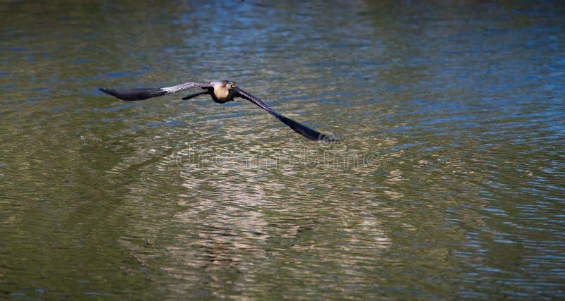 L'anhinga noir et blanc vole bas au-dessus de l'eau photos libres de droits