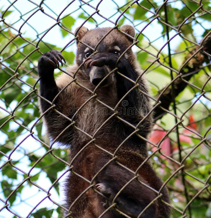 L'animal de Coati aiment le raton laveur dans la cage en Costa Rica images stock
