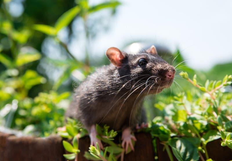 L'animal familier curieux de rat marche dans le jardin photographie stock libre de droits