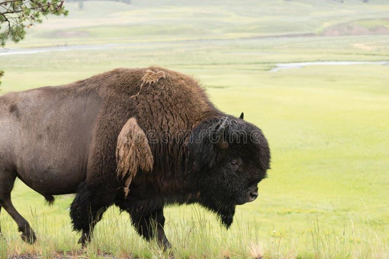 L'animal solitaire de Buffalo marche le long de la faune de parc de Yellowstone images stock