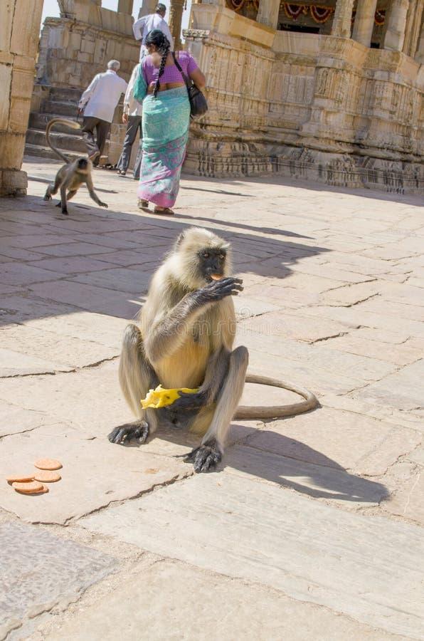 L'animal un singe dans le Langur plat du sud d'Inde mange de l'alimentation de biscuits photographie stock libre de droits