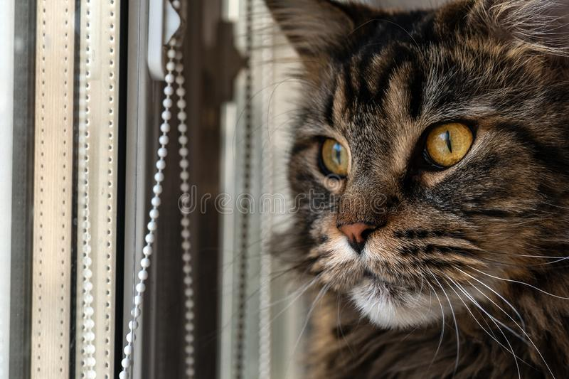 L'animale domestico, razza Maine Coon del gatto, guarda fuori la finestra immagine stock