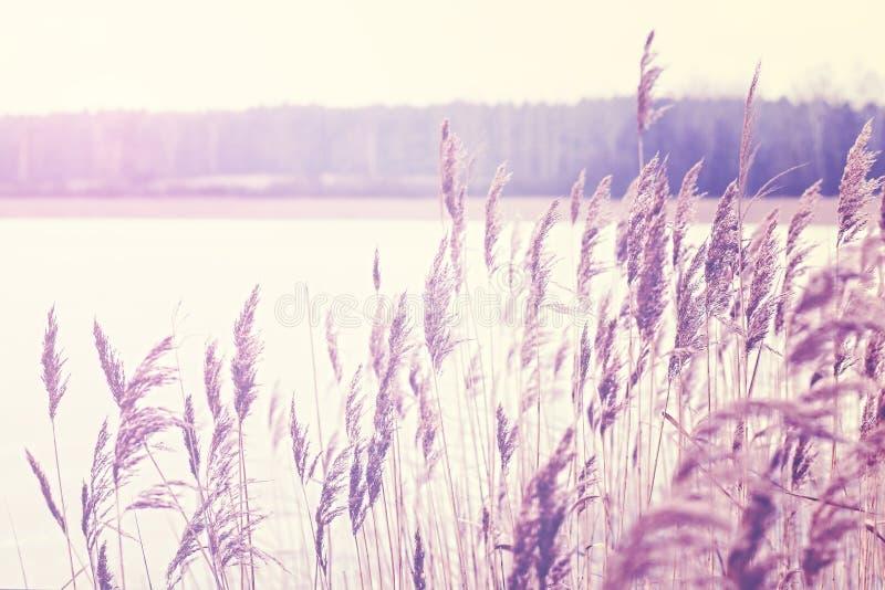 L'annata ha tonificato la canna da un lago, fondo della natura immagine stock libera da diritti