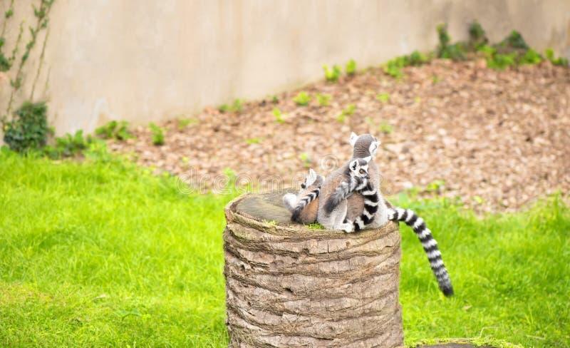 L'anneau a coupé la queue le catta de lémur de lémurs en nature photos stock