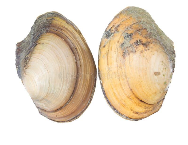 L'Anodonta est un genre des moules d'eau douce image libre de droits