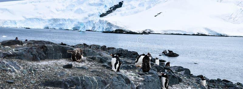 L'Antarctique, pingouins de gentu sur le rivage photos libres de droits
