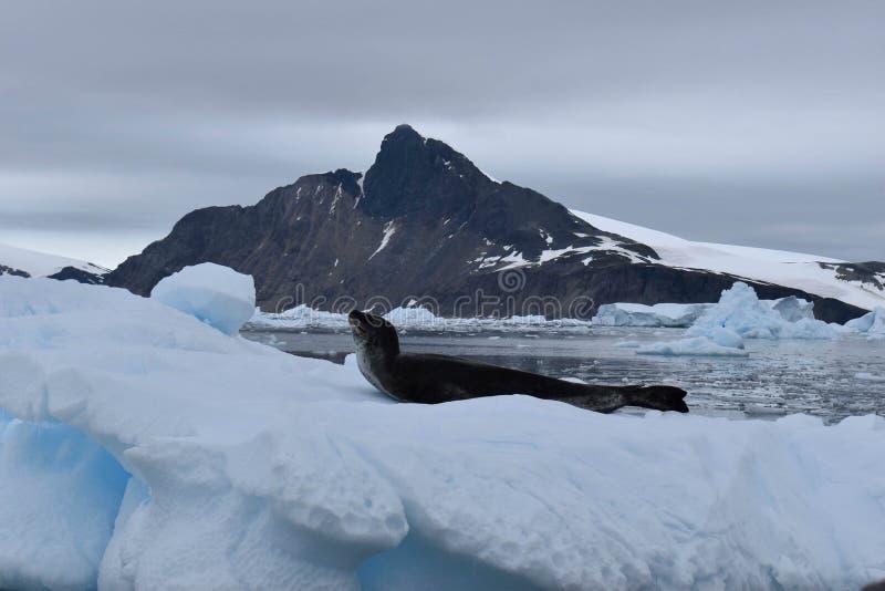 L'Antarctique, un joint de léopard sur un iceberg images stock