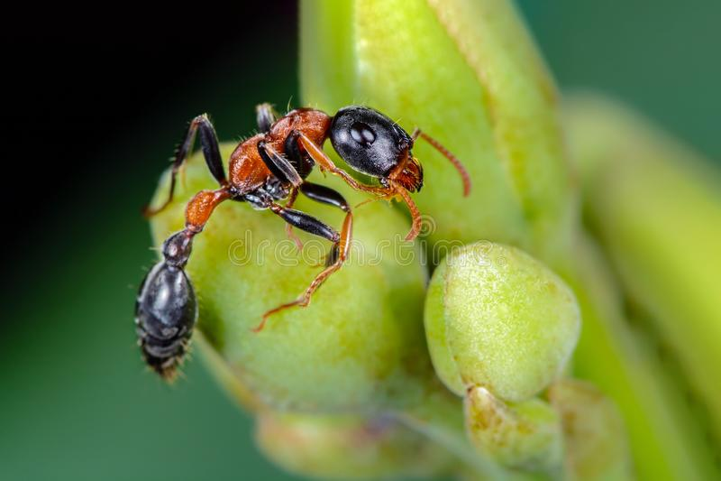 L'antica formica bicolorata, bellissima formica sull'albero della gloria del mattino con sfondo verde, Thailandia fotografie stock libere da diritti