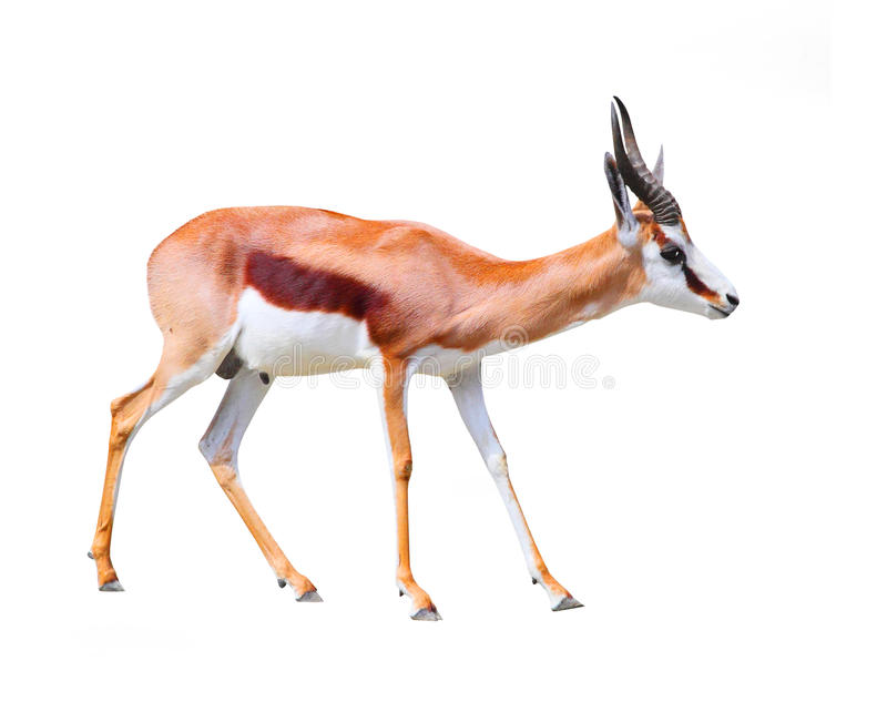 L'antilope de springbok image libre de droits