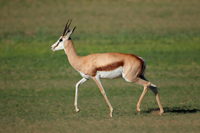 L'antilope springbok en course - désert du Kalahari image stock