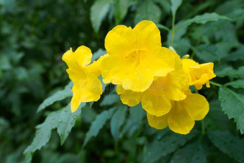 L'anziano giallo, le campane gialle, o la vite di tromba fiorisce [Nome scientifico: Stans di tecoma] fotografie stock