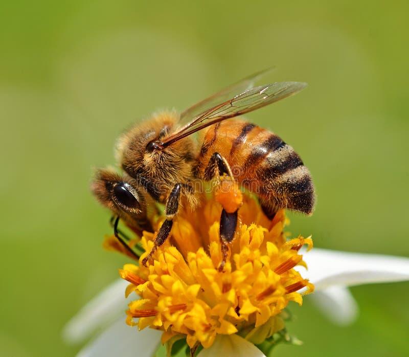 L'ape con il fiore su fondo fotografia stock libera da diritti