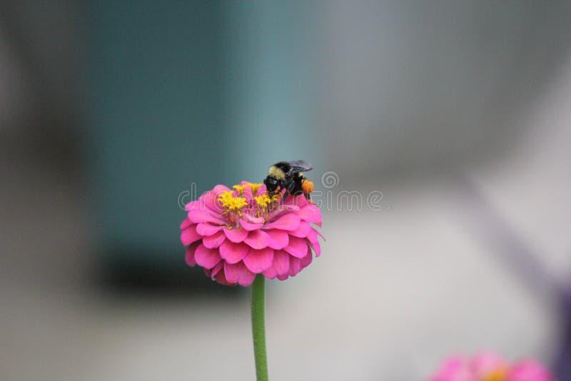 L'ape con polline licenzia il cibo del nettare sulla zinnia rosa del fiore immagine stock libera da diritti