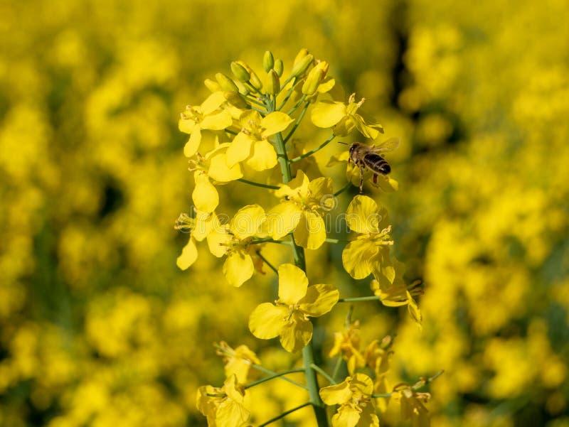 L'ape del miele che raccolgono il nettare ed il polline dalla colza fioriscono Fine in su fotografie stock libere da diritti