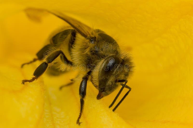 L'ape del primo piano in fiore raccoglie il nettare fotografia stock libera da diritti