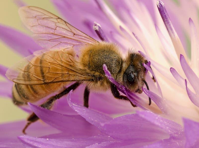 L'ape del primo piano sul fiore raccoglie il nettare fotografie stock