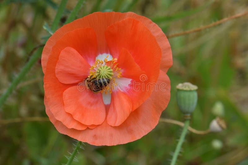 L'ape foraggia sul papavero arancio 04 delle Fiandre immagini stock
