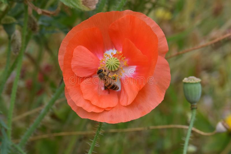 L'ape foraggia sul papavero arancio 05 delle Fiandre immagini stock