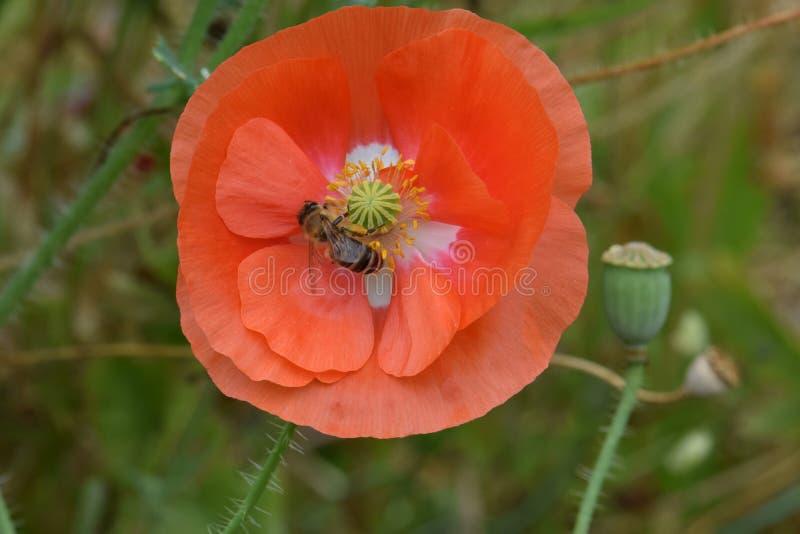 L'ape foraggia sul papavero arancio 06 delle Fiandre immagine stock