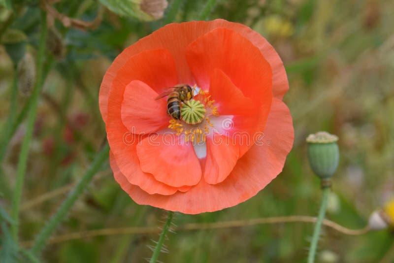 L'ape foraggia sul papavero arancio 08 delle Fiandre immagini stock