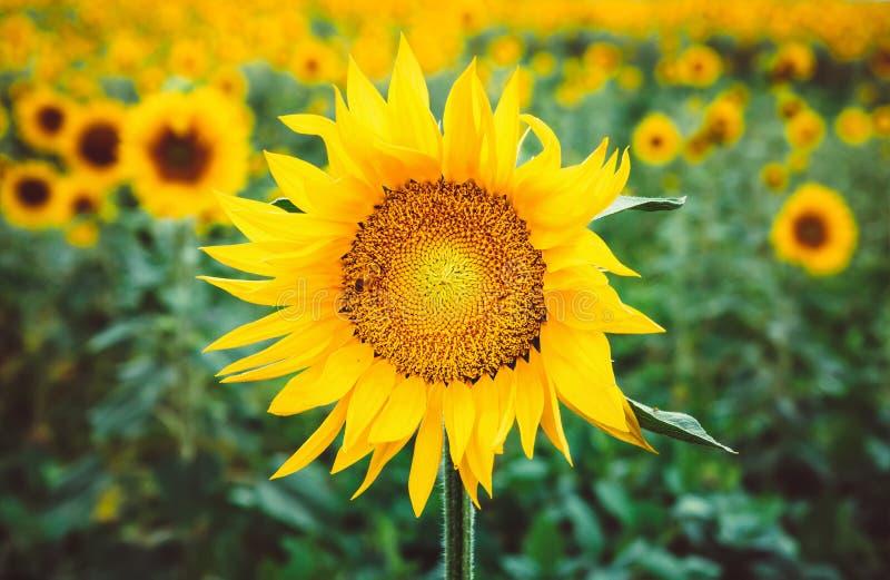 L'ape impollina un fiore di un girasole nel campo Mimetismo degli insetti Bello fiore giallo luminoso in un campo di fotografie stock