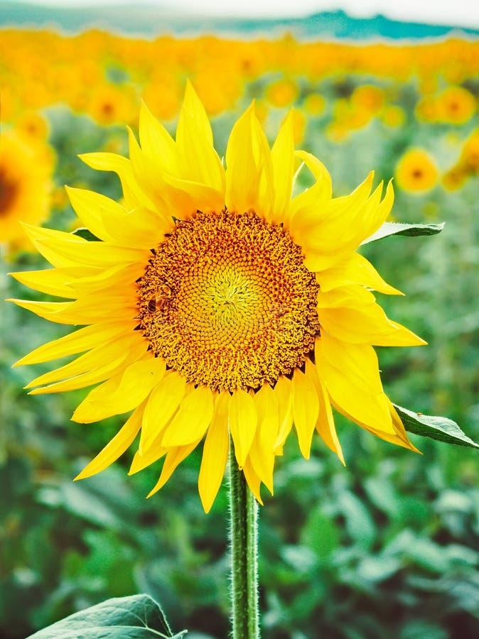 L'ape impollina un fiore di un girasole nel campo Mimetismo degli insetti Bello fiore giallo luminoso in un campo di immagini stock libere da diritti