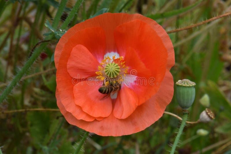 L'ape mellifica foraggia in Fiandre arancio Poppy Flower 04 fotografia stock