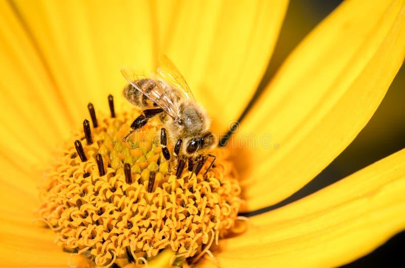 L'ape mellifica impollina un fiore giallo di heliopsis closeup Pollinations del concetto immagine stock libera da diritti