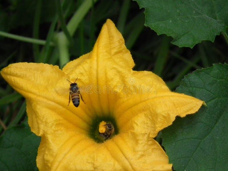 L'ape mellifica meravigliosa immagine stock libera da diritti