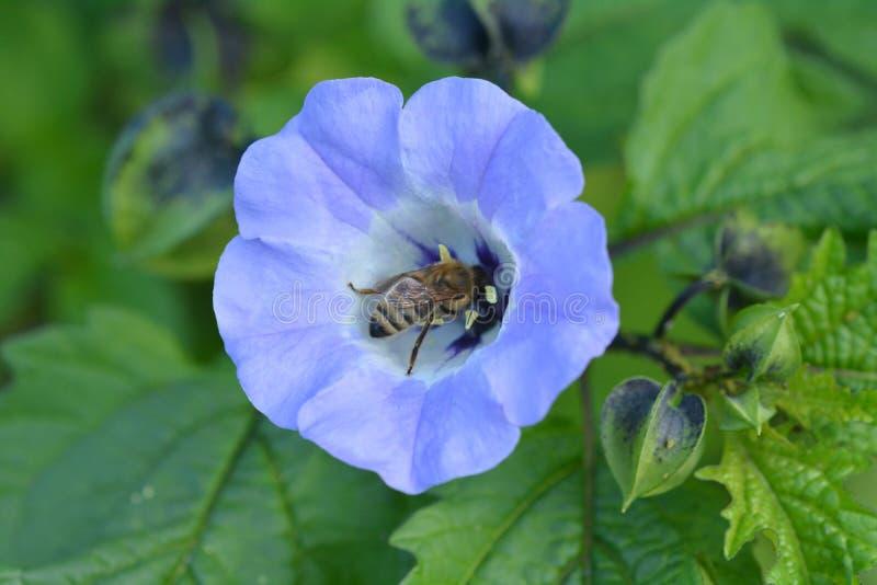 L'ape mellifica raccoglie il nettare da un fiore porpora fotografie stock libere da diritti