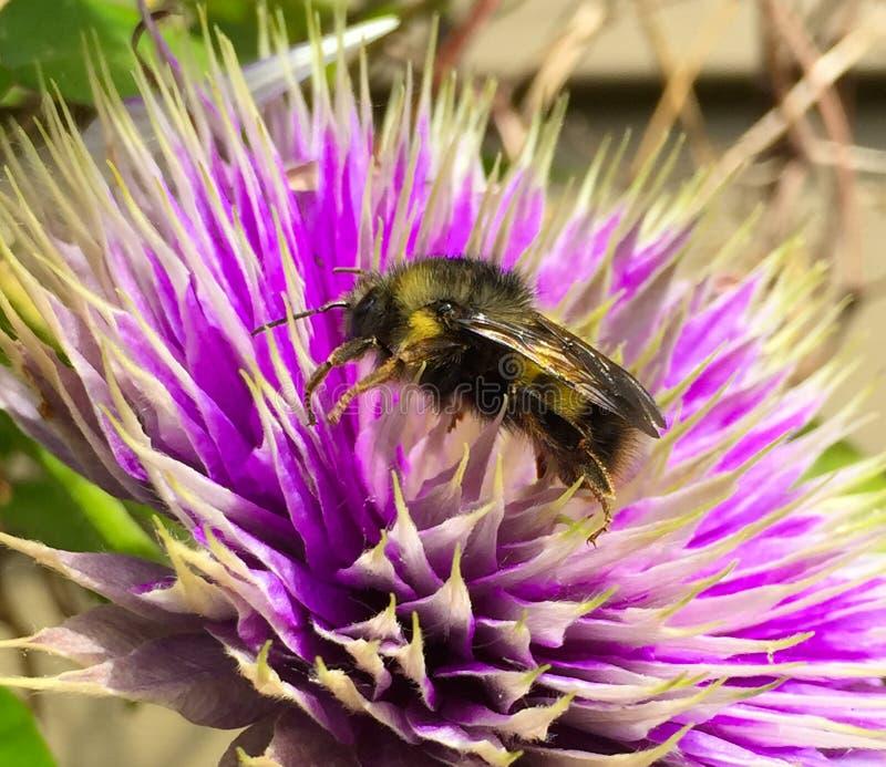 L'ape mellifica visita la clematide della lavanda fotografia stock libera da diritti