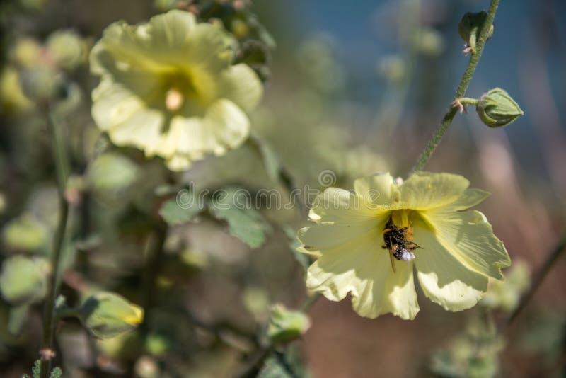 L'ape operaia appende su un fiore e lo impollina fotografia stock