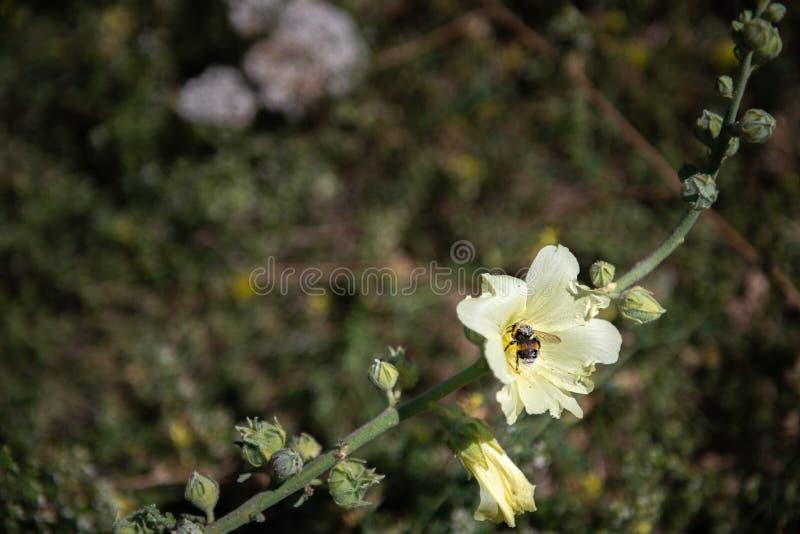 L'ape operaia si siede su un fiore e lo impollina fotografie stock libere da diritti
