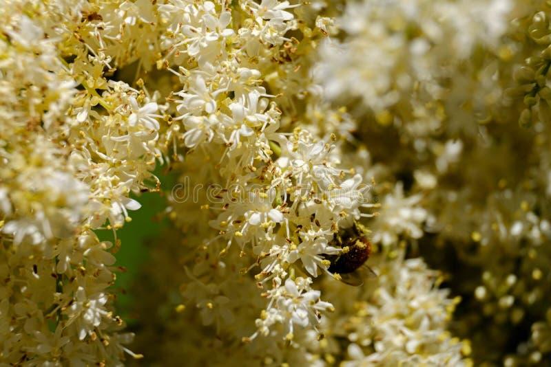 L'ape in polline impollina lilla Amurensis della siringa Fondo con profondità di campo stretta fotografia stock libera da diritti