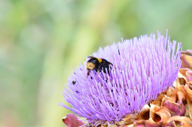 L'ape precipita per il polline fotografia stock libera da diritti