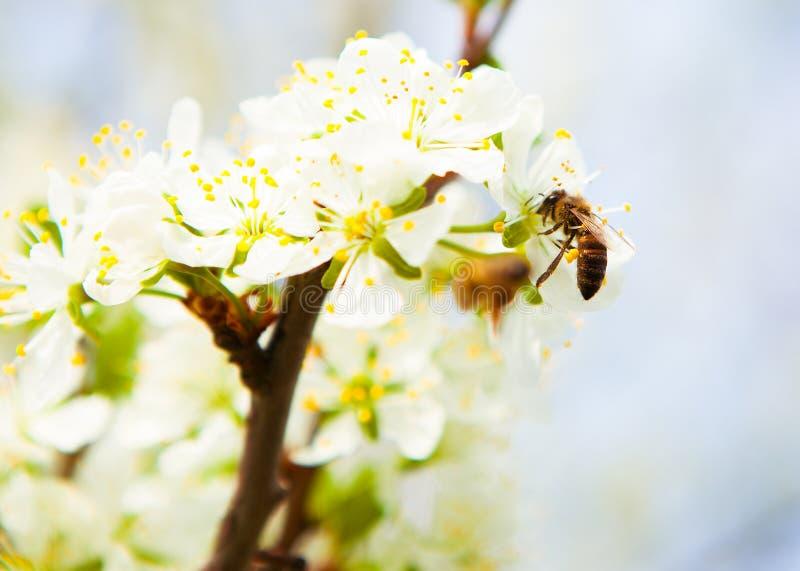 L'ape raccoglie il nettare dalla ciliegia susina dei fiori Cher di fioritura fotografie stock