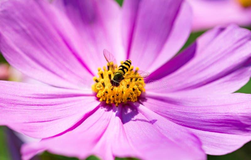 L'ape raccoglie il polline dal cosmos bipinnatus rosa del fiore fotografia stock