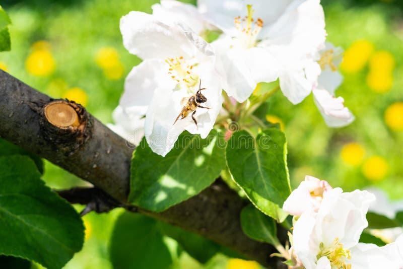 L'ape raccoglie il polline in fiore dell'albero sul prato immagini stock