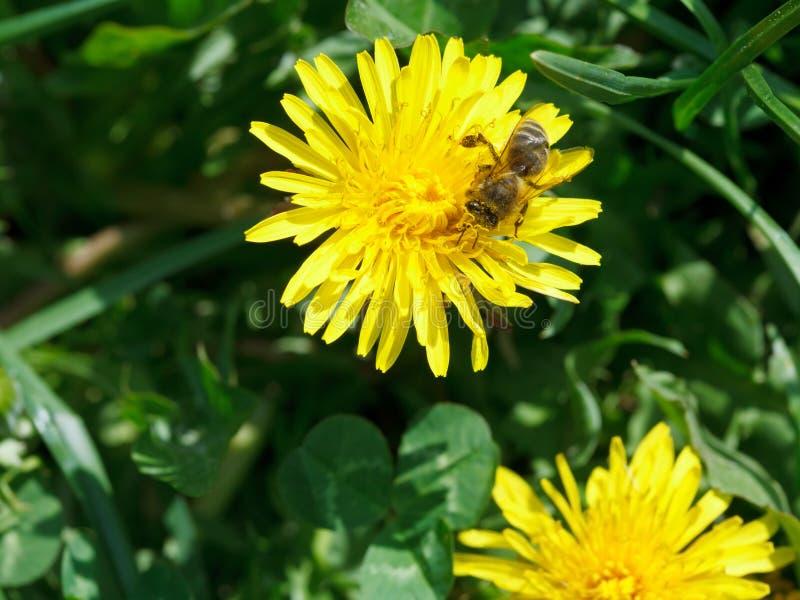 L'ape raccoglie la polvere del fiore dal fiore giallo immagini stock libere da diritti
