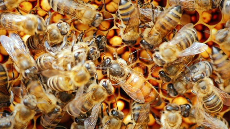 L'ape regina circondata dalle api: che supporto ed alimentazione immagini stock libere da diritti