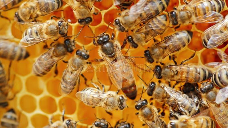 L'ape regina circondata dalle api: che supporto ed alimentazione fotografia stock libera da diritti