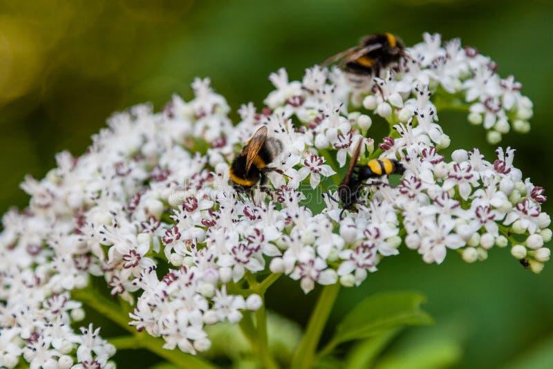 L'ape si siede sui fiori bianchi immagini stock
