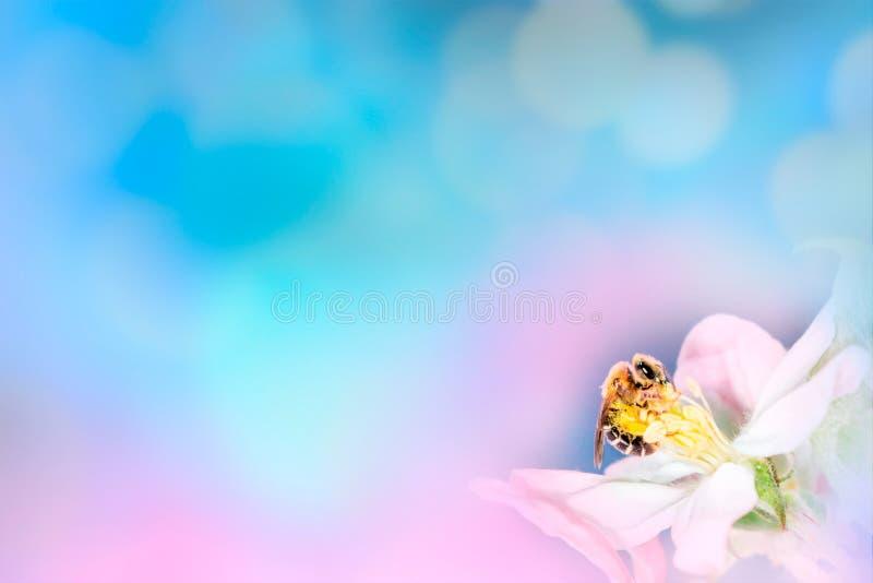 L'ape sul fiore bianco chiude su macro mentre raccoglie il polline su fondo vago blu rosa, insegna per il sito Web Spazio vago pe immagini stock libere da diritti