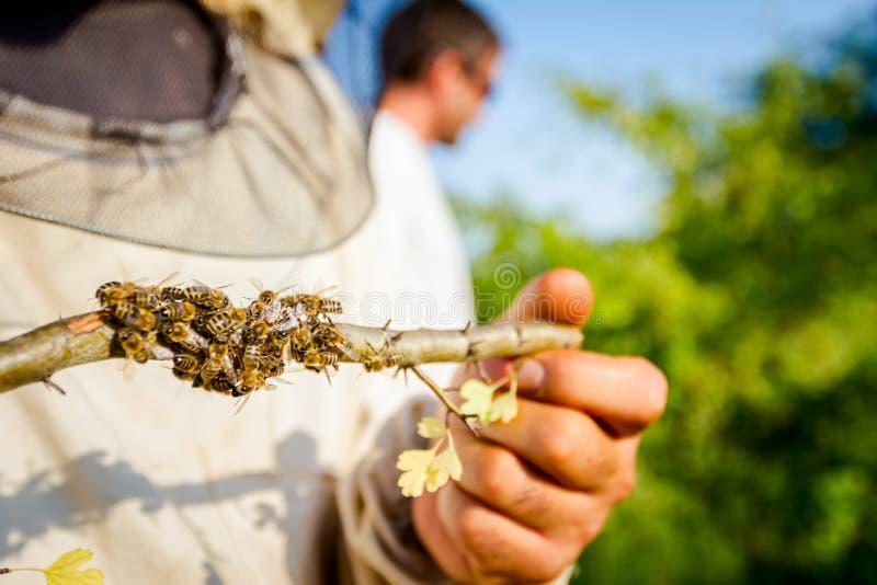 L'Apiarist, apiculteur tient l'essaim des abeilles attachées sur le tre image stock